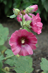 Halo Cerise Hollyhock (Alcea rosea 'Halo Cerise') at The Growing Place