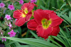 Happy Ever Appster® Red Hot Returns Daylily (Hemerocallis 'Red Hot Returns') at The Growing Place