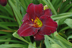 Raspberry Suede Daylily (Hemerocallis 'Raspberry Suede') at The Growing Place