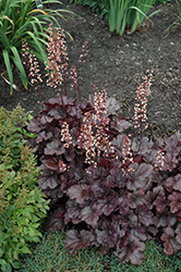 Grape Expectations Coral Bells (Heuchera 'Grape Expectations') at The Growing Place