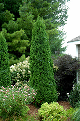North Pole® Arborvitae (Thuja occidentalis 'Art Boe') at The Growing Place