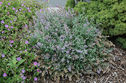 Cat's Meow Catmint (Nepeta x faassenii 'Cat's Meow') at The Growing Place