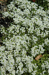Snow Princess Alyssum (Lobularia 'Snow Princess') at The Growing Place