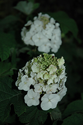 Jetstream™ Hydrangea (Hydrangea quercifolia 'PIIHQ-I') at The Growing Place