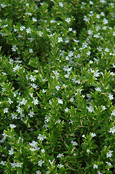 White False Heather (Cuphea hyssopifolia 'Alba') at The Growing Place