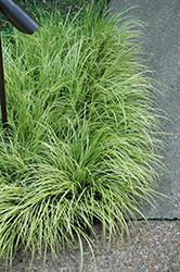 Grassy-Leaved Sweet Flag (Acorus gramineus 'Ogon') at The Growing Place