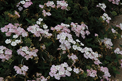 EnduraScape™ White Blush Verbena (Verbena 'Balendish') at The Growing Place