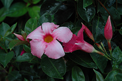 Summer Romance Vining Pink Mandevilla (Mandevilla 'Summer Romance Vining Pink') at The Growing Place