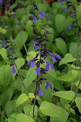 Black And Bloom Sage (Salvia guaranitica 'Black And Bloom') at The Growing Place