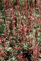 Kudos™ Coral Hyssop (Agastache 'Kudos Coral') at The Growing Place