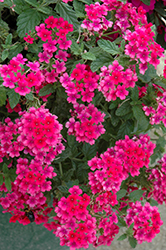 EnduraScape™ Hot Pink Verbena (Verbena 'Balendopin') at The Growing Place