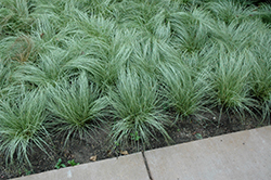 Amazon Mist Sedge (Carex comans 'Amazon Mist') at The Growing Place