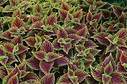 Coleosaurus Coleus (Solenostemon scutellarioides 'Coleosaurus') at The Growing Place