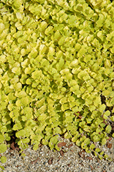 Goldilocks Creeping Jenny (Lysimachia nummularia 'Goldilocks') at The Growing Place