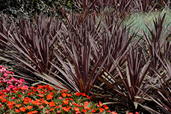 Red Sensation Grass Palm (Cordyline australis 'Red Sensation') at The Growing Place