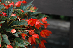 Little Lava Begonia (Begonia 'Little Lava') at The Growing Place