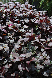 Little Ruby Alternanthera (Alternanthera dentata 'Little Ruby') at The Growing Place
