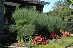 King Tut Egyptian Papyrus (Cyperus papyrus 'King Tut') at The Growing Place