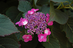 Tuff Stuff™ Hydrangea (Hydrangea serrata 'MAK20') at The Growing Place