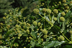 Sputnik Button Bush (Cephalanthus occidentalis 'Sputnik') at The Growing Place