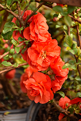 Double Take Orange Storm Flowering Quince (Chaenomeles speciosa 'Double Take Orange Storm') at The Growing Place