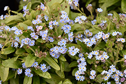 Victoria Blue Forget-Me-Not (Myosotis sylvatica 'Victoria Blue') at The Growing Place