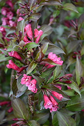 Shining Sensation™ Weigela (Weigela florida 'Bokrashine') at The Growing Place