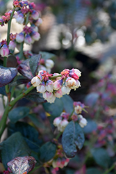 Pink Icing® Blueberry (Vaccinium 'ZF06-079') at The Growing Place