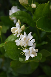 Belle Of India Jasmine (Jasminum sambac 'Belle Of India') at The Growing Place