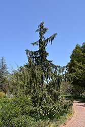 Weeping Nootka Falsecypress (Chamaecyparis nootkatensis 'Pendula') at The Growing Place