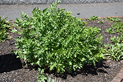 Lovage (Levisticum officinale) at The Growing Place