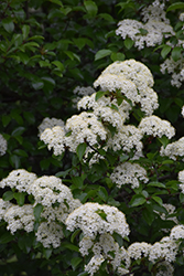 Blackhaw Viburnum (Viburnum prunifolium) at The Growing Place