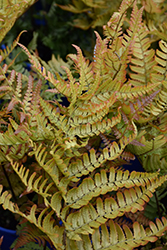Brilliance Autumn Fern (Dryopteris erythrosora 'Brilliance') at The Growing Place