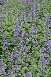 Blue Wonder Catmint (Nepeta x faassenii 'Blue Wonder') at The Growing Place