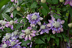 Diamantina Clematis (Clematis 'Diamantina') at The Growing Place