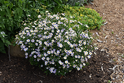 Blue Star Japanese Aster (Kalimeris incisa 'Blue Star') at The Growing Place