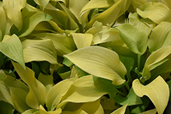 Prairie Moon Hosta (Hosta 'Prairie Moon') at The Growing Place