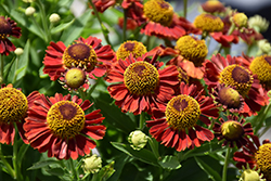 Mariachi™ Salsa Sneezeweed (Helenium autumnale 'Salsa') at The Growing Place