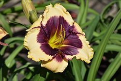 Blackthorne Daylily (Hemerocallis 'Blackthorne') at The Growing Place