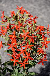 Royal Catchfly (Silene regia) at The Growing Place