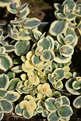 Lime Twister Stonecrop (Sedum 'Lime Twister') at The Growing Place