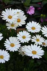 Voltage™ White African Daisy (Osteospermum 'Voltage White') at The Growing Place