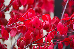 Rudy Haag Burning Bush (Euonymus alatus 'Rudy Haag') at The Growing Place