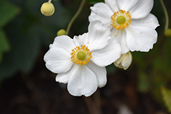 Honorine Jobert Anemone (Anemone x hybrida 'Honorine Jobert') at The Growing Place