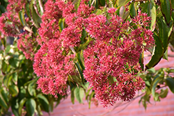 Seven-Son Flower (Heptacodium miconioides) at The Growing Place