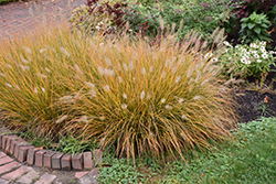Hameln Dwarf Fountain Grass (Pennisetum alopecuroides 'Hameln') at The Growing Place