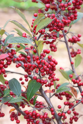 Brilliantissima Red Chokeberry (Aronia arbutifolia 'Brilliantissima') at The Growing Place