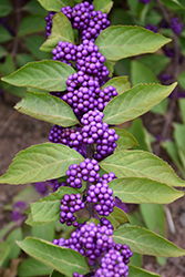 Purple Beautyberry (Callicarpa dichotoma) at The Growing Place