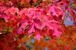 Fall Fiesta Sugar Maple (Acer saccharum 'Bailsta') at The Growing Place