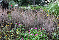 Standing Ovation Bluestem (Schizachyrium scoparium 'Standing Ovation') at The Growing Place